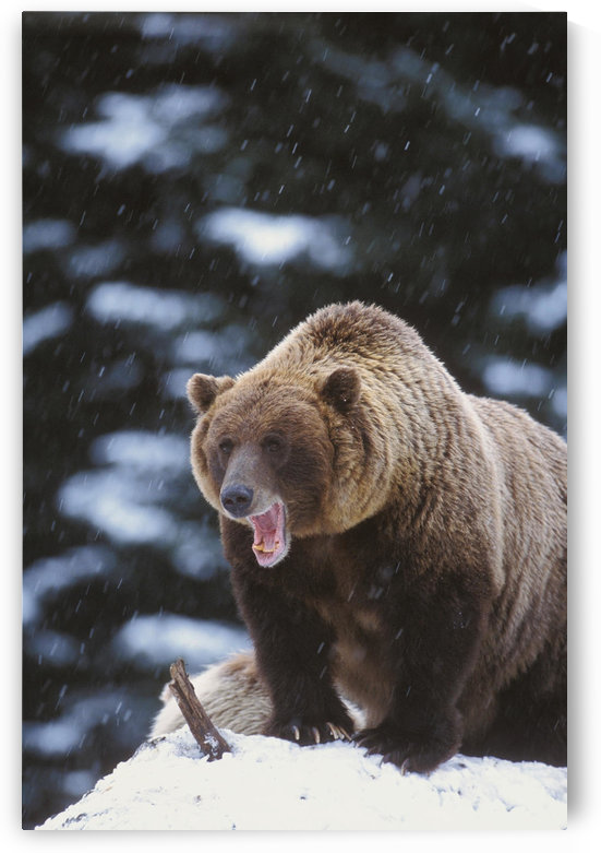 Brown Bear Standing In Snow And Yawning, Yakutat, Southeast Alaska, Winter by PacificStock