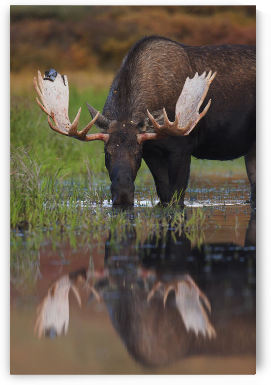 Bull Moose Walks Through A Pond In Denali National Park, Interior Alaska by PacificStock