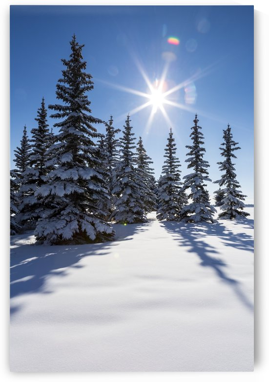 Snow covered evergreen trees on a snow covered hillside with blue sky and sun burst; Calgary, Alberta, Canada by PacificStock