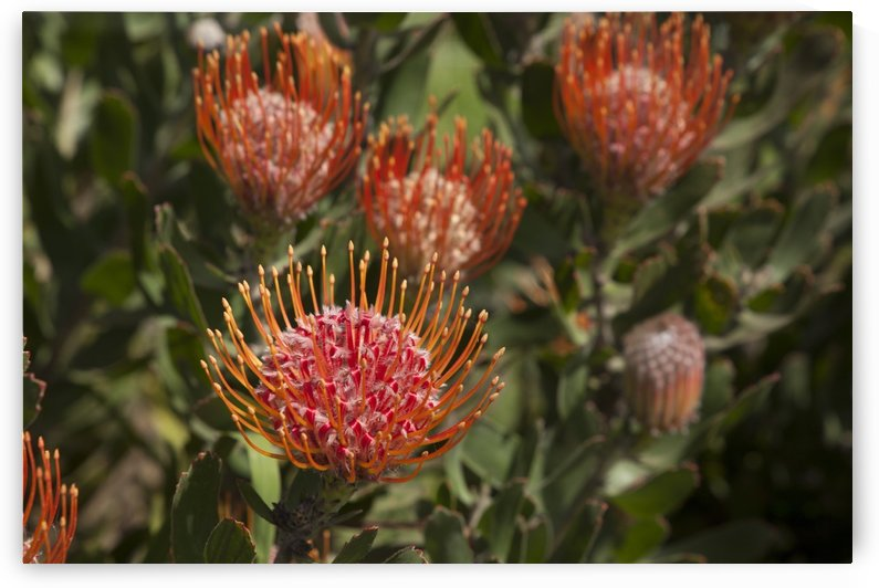 Pincushion (Scabiosa) protea flower; Kula, Maui, Hawaii, United States of America by PacificStock