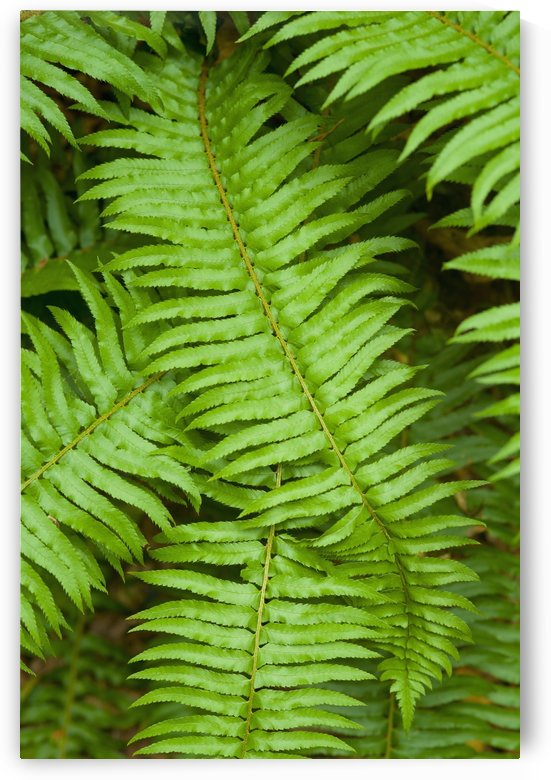 Lush, green ferns; Thetis Island, British Columbia, Canada by PacificStock
