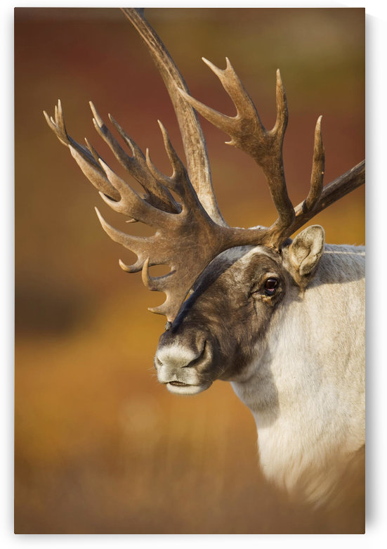 Bull Caribou On Autumn Tundra In Denali National Park, Interior Alaska by PacificStock