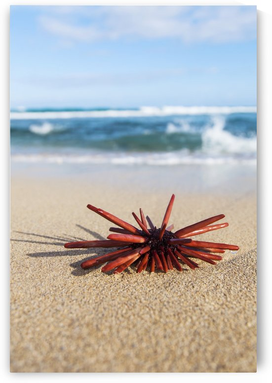 A Red Slate Pencil Urchin (Heterocentrotus Mamillatus) sounds on the sand at the beach; Honolulu, Oahu, Hawaii, United States of America by PacificStock