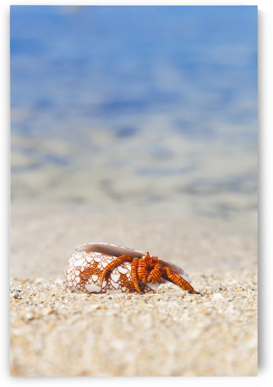 A Hawaiian sea creature, Halloween Hermit Crab (Ciliopagurus strigatus) on the sandy beach; Honolulu, Oahu, Hawaii, United States of America by PacificStock