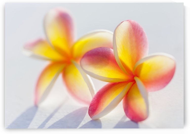 A pair of beautiful yellow and pink Plumeria flowers together (Apocynaceae) on a white background; Honolulu, Oahu, Hawaii, United States of America by PacificStock