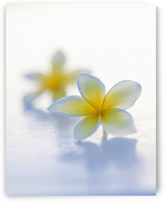 Close-up of two beautiful yellow Plumeria flowers (Apocynaceae) in soft focus; Honolulu, Oahu, Hawaii, United States of America by PacificStock
