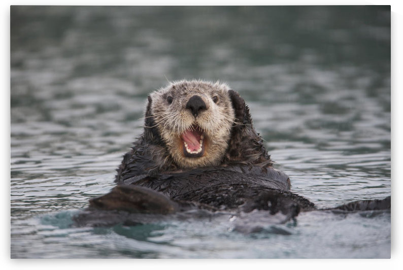 Close Up Of A Sea Otter Swimming On Back In Prince William Sound, Alaska, Southcentral, Winter by PacificStock