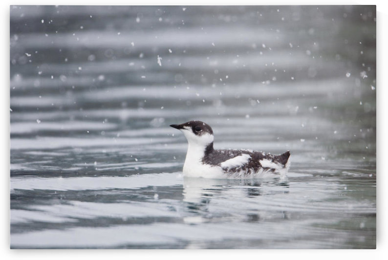 Marbled Murrelet With Winter Plumage Swimming During A Snowfall In Prince William Sound, Alaska, Southcentral, Winter, Iucn Endangered by PacificStock