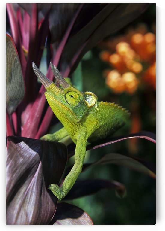 Hawaii, Maui, Jackson's Chameleon On Red Ti-Leaf Plant. by PacificStock