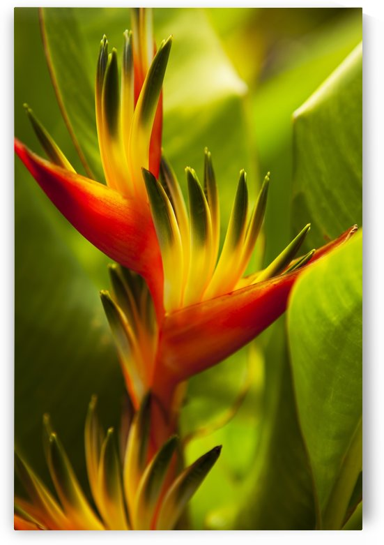 Hawaii, Maui, Heliconia Flowers by PacificStock