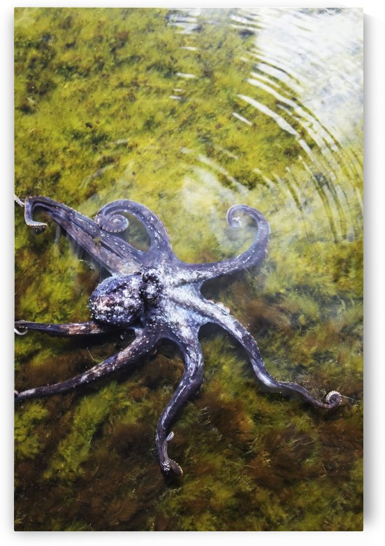 Hawaii, Day Octopus (Octopus Cyanea) Sitting In Shallow Water. by PacificStock