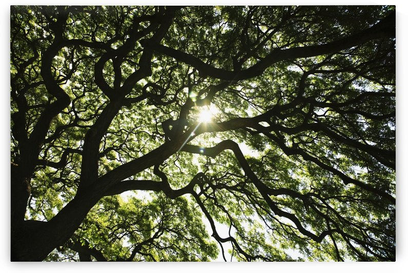 Hawaii, Oahu, Huge Monkey Pod Tree With Sunlight Shinning Through Branches. by PacificStock