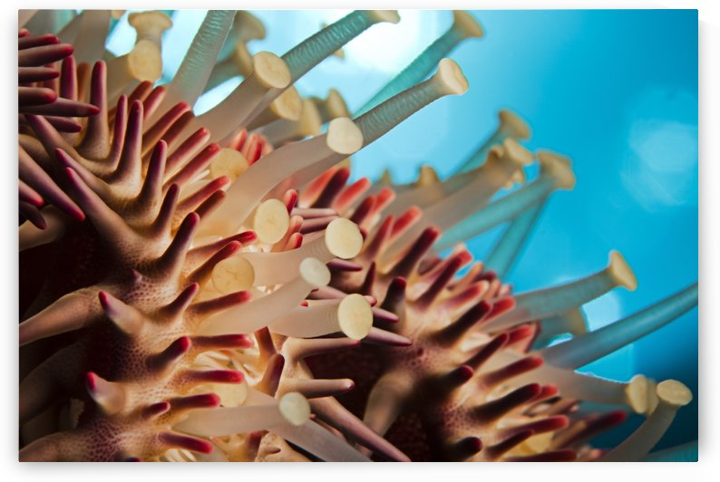 Hawaii, Maui, Molokini, A Macro Shot Of The Spines And Tube Feet Of A Crown Of Thorns Starfish, (Acanthaster Planci). by PacificStock