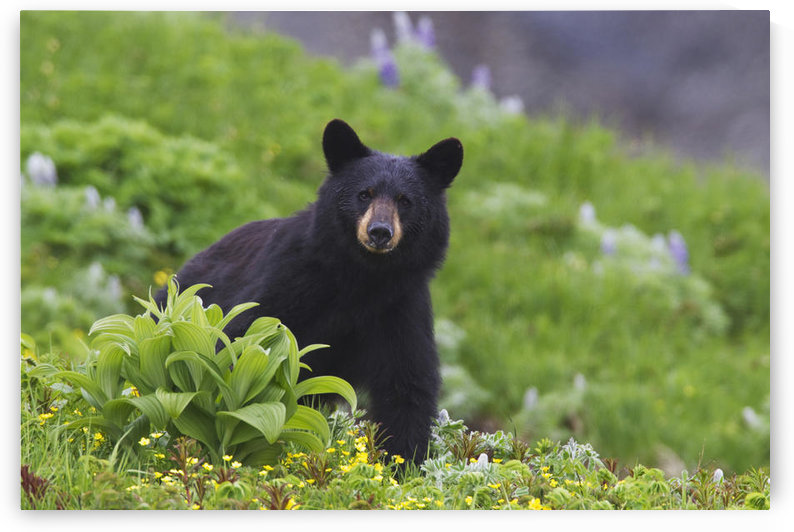 Black Bear Standing In Alpine Vegetation, Harding Icefield Trail, Kenai Fjords National Park, Near Seward, Southcentral Alaska, Summer by PacificStock