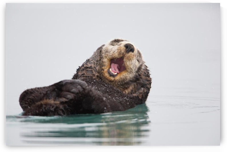 Sea Otter Floating On Back Scratching Head And Yawning, Prince William Sound, Southcentral Alaska, Winter by PacificStock