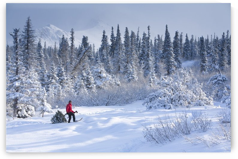 Man Snowshoeing With Fresh Cut Christmas Tree With Chugach Mountains In The Background, Southcentral Alaska by PacificStock