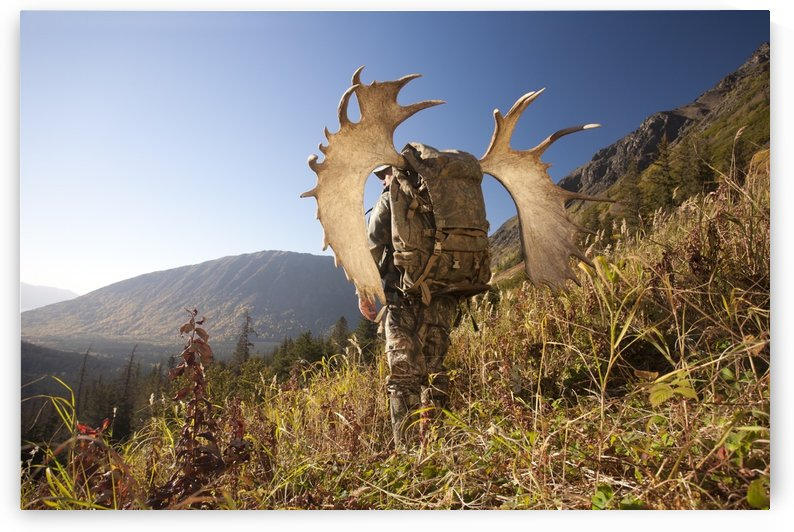 Male Moose Hunter Stops To Enjoy The View As He Hikes Out Of Hunt Area With Trophy Moose Antler On His Pack, Bird Creek Drainage Area, Chugach Mountains, Chugach National Forest, Southcentral Alaska, Autumn by PacificStock