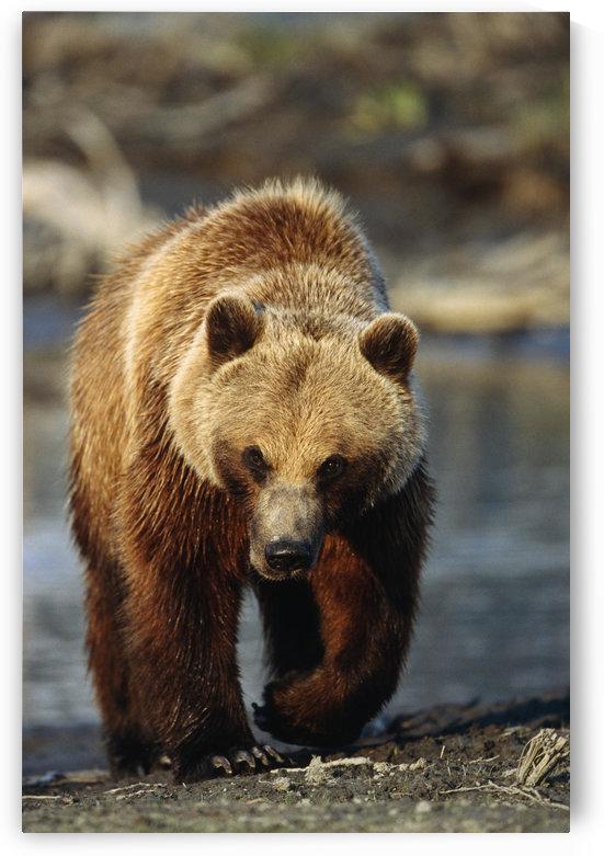 Frontal View Of Brown Bear Sc Alaska Summer Captive Big Game Alaska by PacificStock