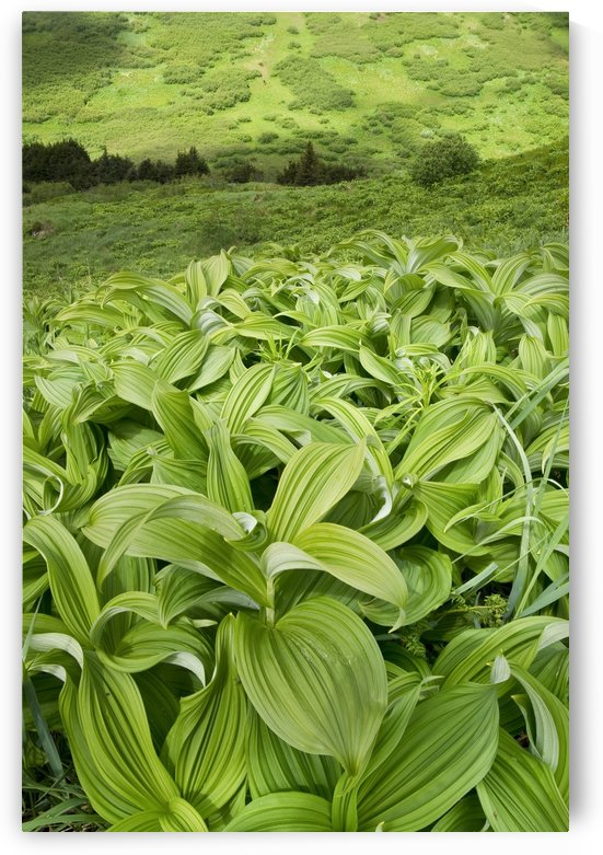 Close Up Of False Hellebore And Green Mountainside In The Distance, Chugach State Park, Southcentral Alaska, Summer by PacificStock