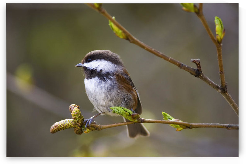 Chestnut Backed Chickadee Perched On Branch On Fox Island Near Seward. Kenai Fjords. Spring Kenai Peninisula Alaska by PacificStock