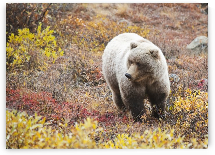 Brown Bear (Ursus Arctos) In Denali National Park With Autumn Colours;Alaska United States Of America by PacificStock
