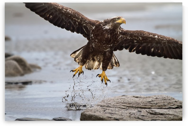 Immature Bald Eagle taking off from a beach near Deep Creek, Kenai Peninsula, Southcentral Alaska by PacificStock