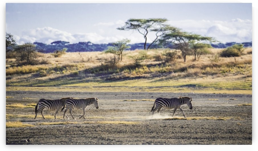 Zebras walking across the dusty plains of the serengeti; Tanzania by PacificStock