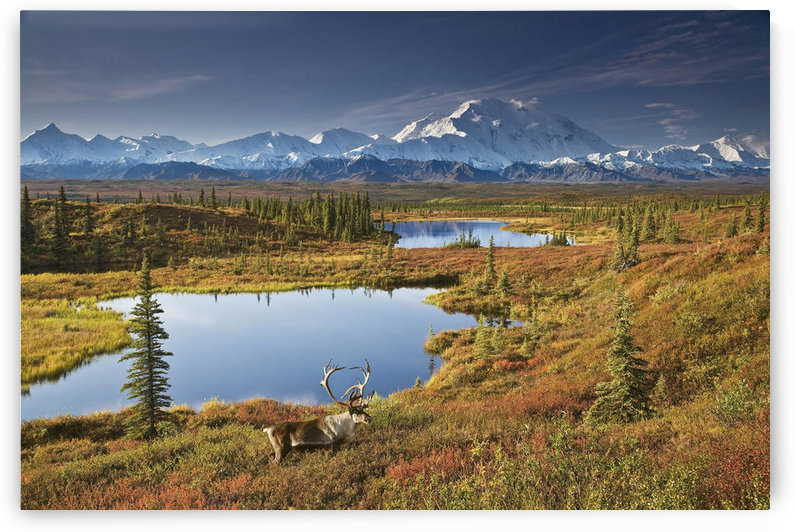 Scenic Of Bull Caribou And Tundra Pond With The Northside Of Mt. Mckinley In The Background, Fall Colors And Denali In The Background, Denali National Park And Preserve, Alaska, Fall, Composite by PacificStock