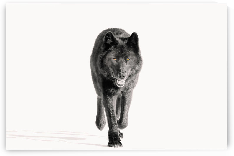 Archipelago Wolf In Black Color Phase Trotting On Snow Field Southeast Alaska Winter Tongass Nat Forest by PacificStock