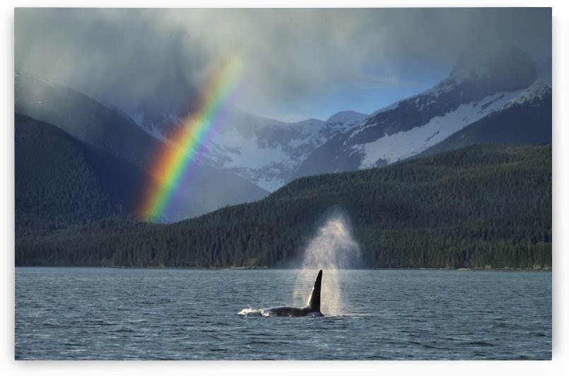 COMPOSITE: Male Orca whale surfaces in Lynn Canal with a rainbow and spring rain shower in the background, Southeast Alaska by PacificStock