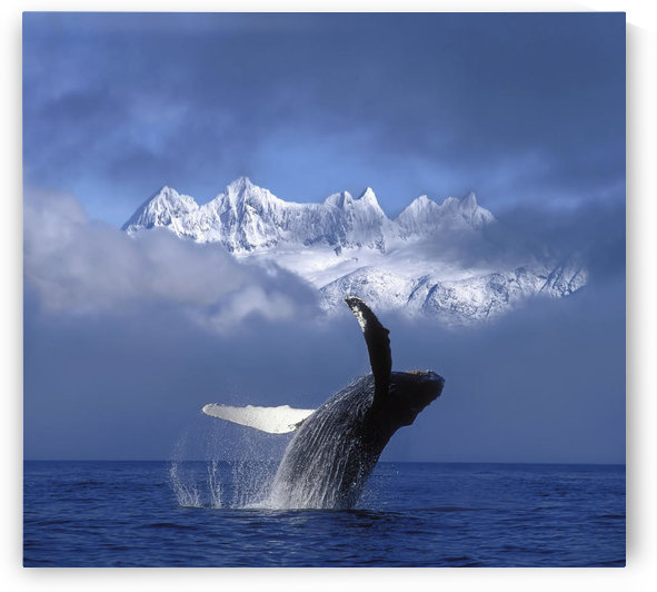 Humpback Whale Breaches In Clearing Fog Se Ak Spring W/Mendenhall Towers Background Composite by PacificStock