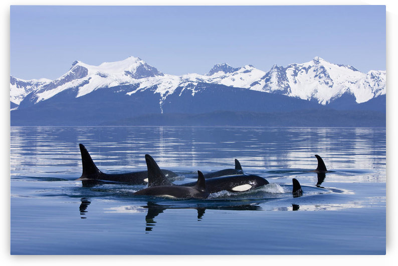 Orca Surface In Lynn Canal Near Juneau With Coast Range Beyond, Inside Passage, Alaska by PacificStock
