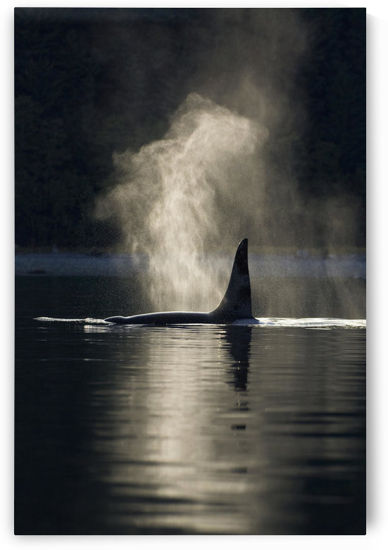 An Orca Whale Exhales (Blows) As It Surfaces In Alaska's Inside Passage, Southeast Alaska by PacificStock