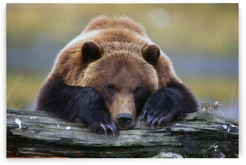 Captive Brown Bear Rests With It Front Legs Outstretched On A Log At The Alaska Wildlife Conservation Center, Alaska Captive by PacificStock