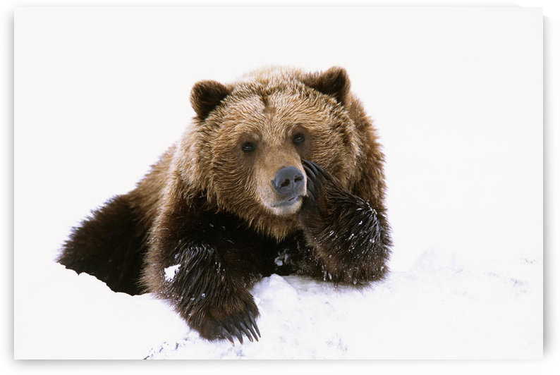Grizzly Resting Head On Paw While Laying In Snow At The Alaska Wildlife Conservation Center In Alaska During Spring by PacificStock