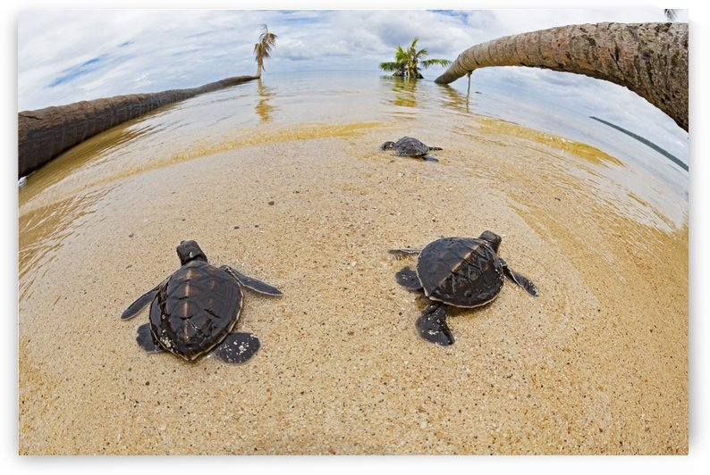 Three newly hatched baby green sea turtles (Chelonia mydas), an endangered species, makes thier way across the beach to the ocean off the island of Yap; Yap, Micronesia by PacificStock