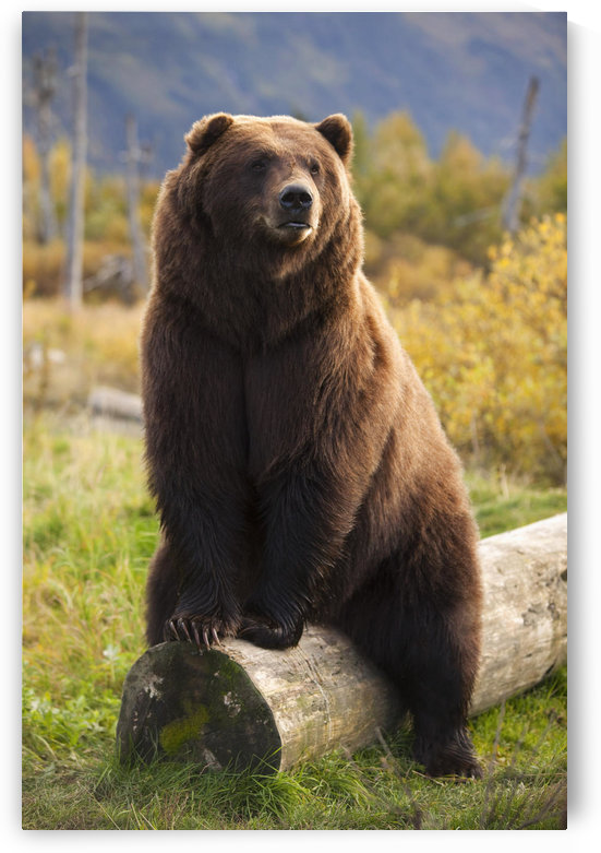 Captive: A Large Brown Bear Sits On A Log At The Alaska Wildlife Conservation Center, Southcentral Alaska by PacificStock