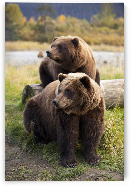 Captive: Two Brown Bears Sitting Near Log At The Alaska Wildlife Conservation Center, Southcentral Alaska by PacificStock