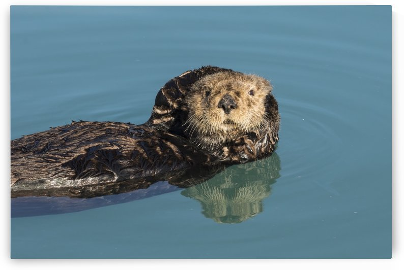 Sea Otter (Enhydra lutris) in Seward small boat harbor, South-central Alaska; Seward, Alaska, United States of America by PacificStock