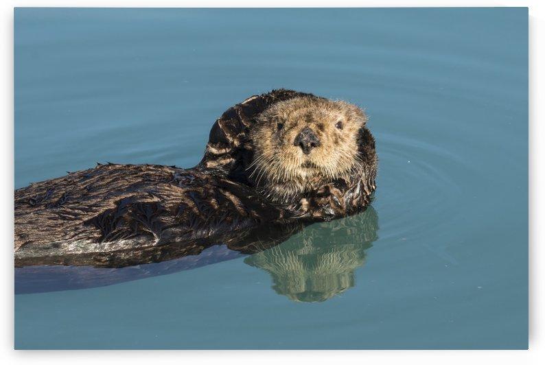 Sea Otter (Enhydra lutris) in Seward small boat harbor, South-central Alaska; Seward, Alaska, United States of America by PacificStock