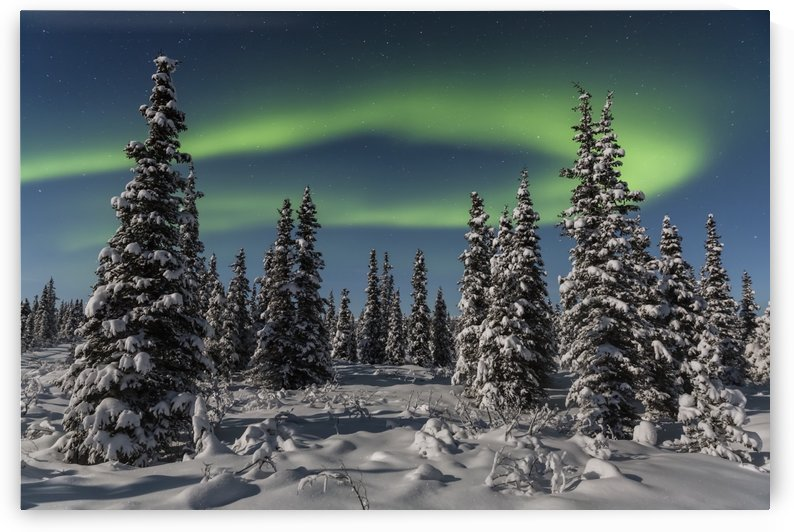 Green Aurora Borealis dances over the tops of snow covered black spruce trees, moonlight casting shadows on a clear winter night, interior Alaska; Gakona, Alaska, United States of America by PacificStock