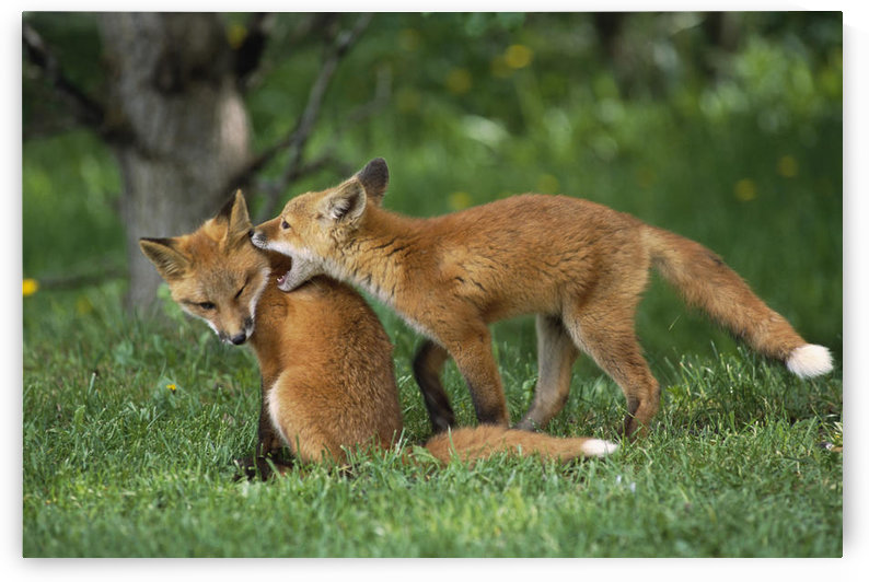 Adolescent Red Fox Play Together Elmendorf Ak Sc Summer Golf Course by PacificStock