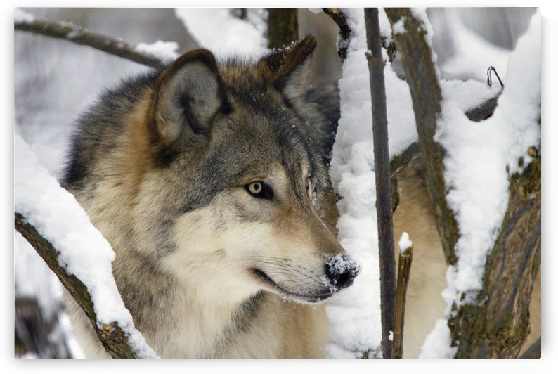 Captive Close Up View Of An Adult Gray Wolf, Alaska Zoo, Southcentral Alaska, Winter by PacificStock