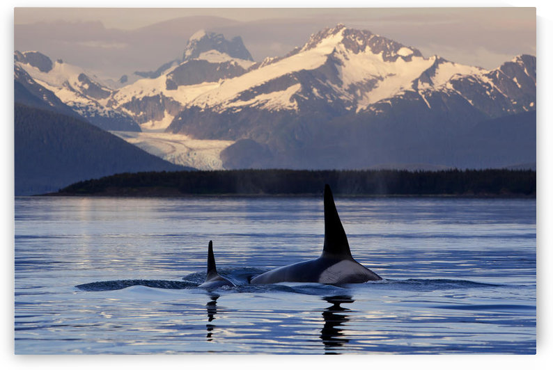 Two Killer Whales Surface In Lynn Canal At Sunset With Herbert Glacier And The Coast Range Mountains In The Background, Inside Passage, Southcentral Alaska, Summer. Composite by PacificStock