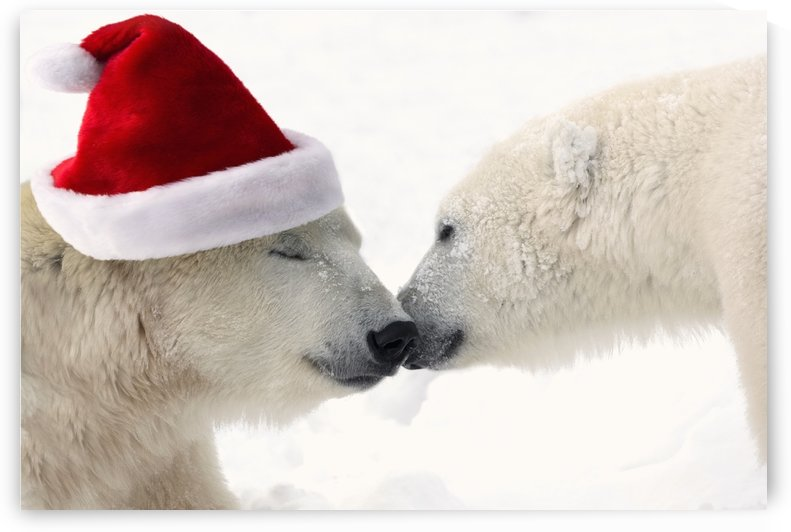 COMPOSITE: Two polar bears touching noses while one is wearing a santa hat, Churchill, Manitoba, Canada by PacificStock