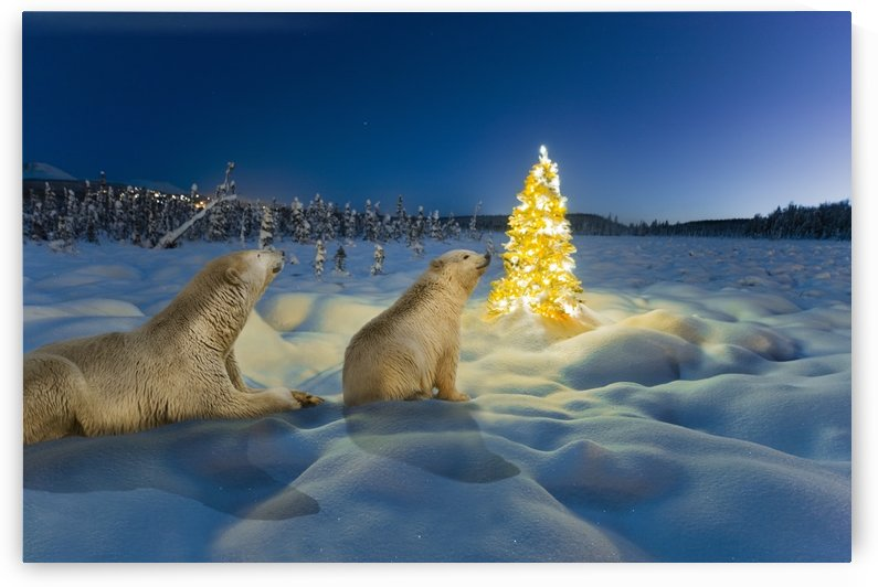 COMPOSITE Polar bear sow and cub and Christmas tree on snow covered tundra at twilight, spruce forest and Chugach Mountains in the background, winter, Alaska. 409SN CY0086D008/Kevin Smith and 999ZZ ZA3506D001/Steven Kazlowski by PacificStock