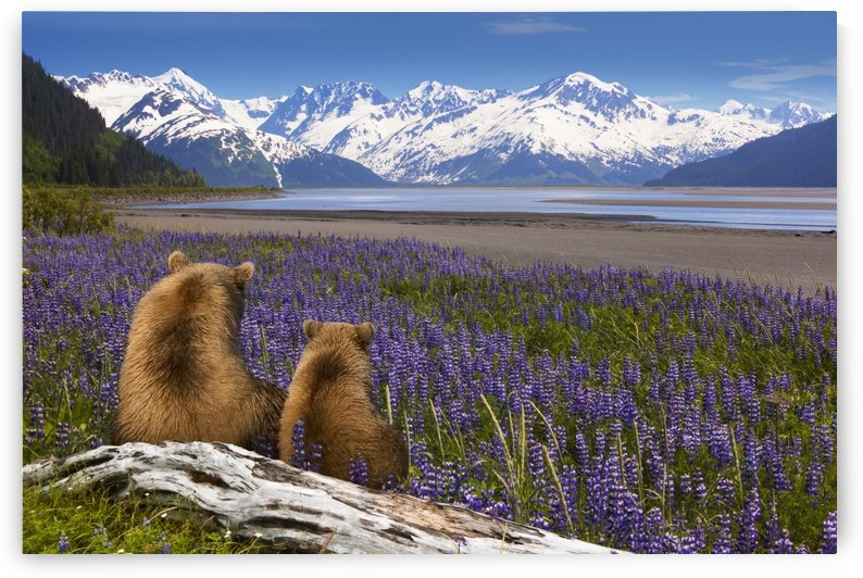 COMPOSITE: Grizzly Sow & cub sit in lupine along Seward Highway, Turnagain Arm, Southcentral Alaska by PacificStock