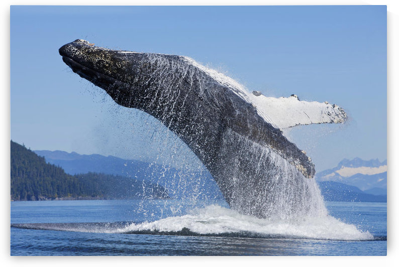 A Humpback Whale Breaches Along The Shoreline Of Chichagof Island In Chatham Strait With Mendenhall Towers In The Background, Inside Passage, Tongass National Forest, Admiralty Island, Southeast Alaska, Summer by PacificStock