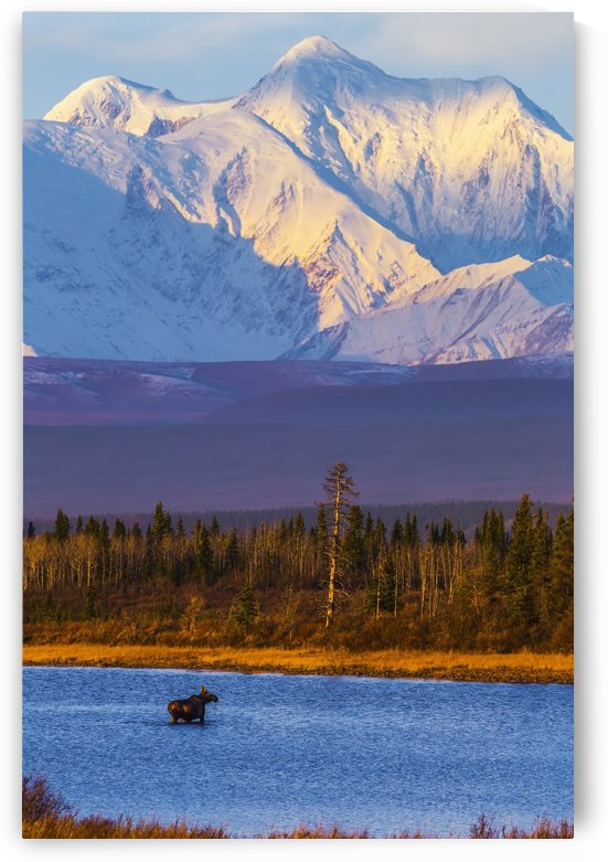 A female moose (alces alces) crosses a pond in late autumn with Mt. Hayes towering in the background; Alaska, United States of America by PacificStock