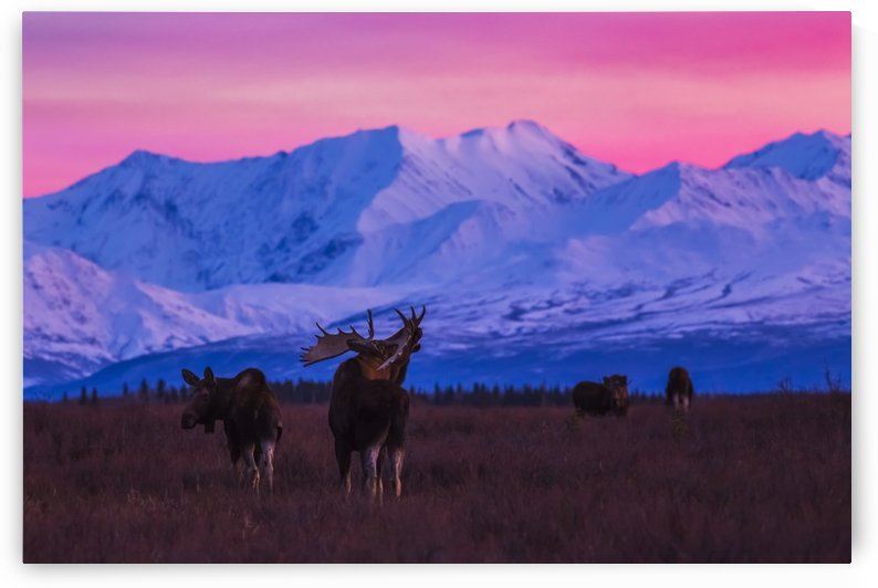 A bull moose (alces alces) makes vocalizations after sunset with the Alaska Range in the background during rutting season; Alaska, United States of America by PacificStock